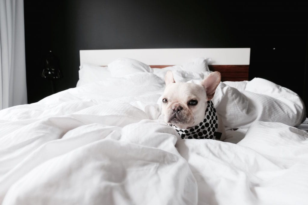 frenchie in hotel bed