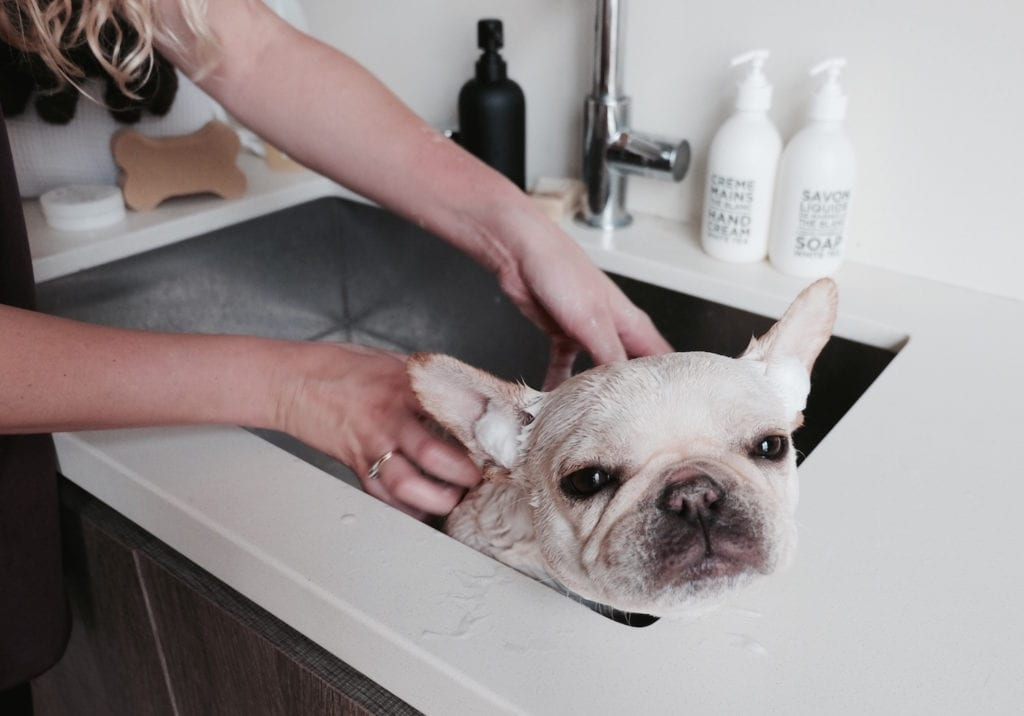 french bulldog in sink