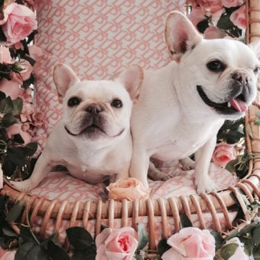 french bulldogs instagram