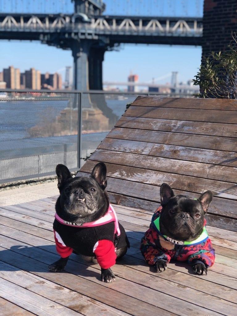 black french bulldogs new york
