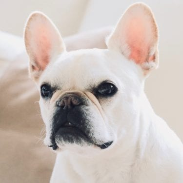 french bulldog how to blog