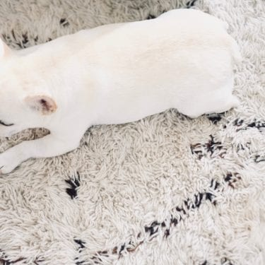 cream French bulldog on rug